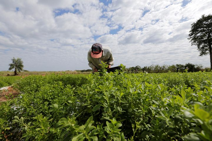 A farmer tends to stevia plants at a plantation in Lima, Paraguay.