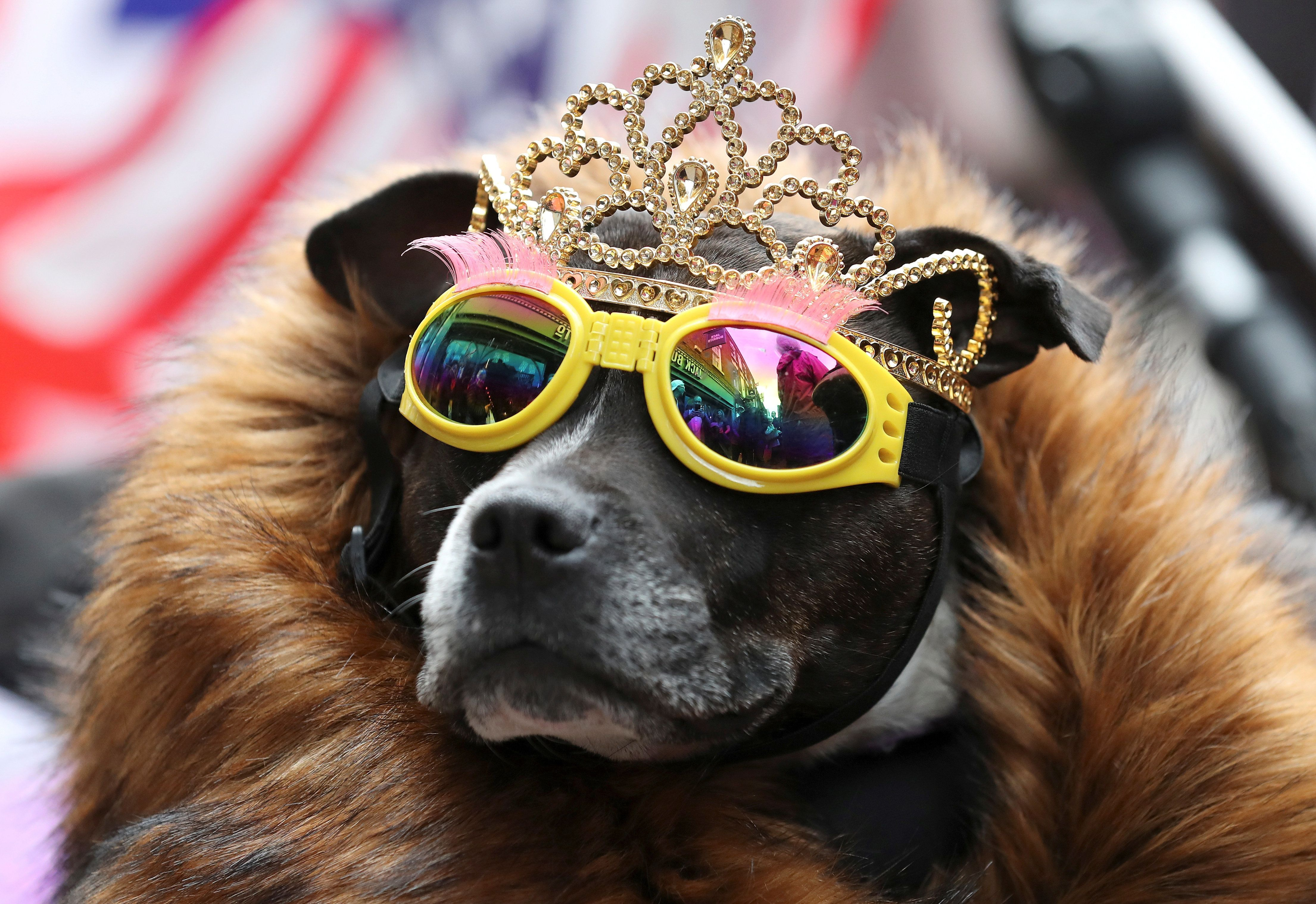 A dog wears a tiara and sunglasses ahead of Britain's Queen Elizabeth and Meghan, the Duchess of Sussex, visit to Chester, June 14, 2018. REUTERS/Jon Super     TPX IMAGES OF THE DAY
