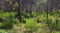 Εντυπωσιακές εικόνες από φυτεία μέσα σε δάσος στη Βοιωτία – Τα ΕΚΑΜ συνέλαβαν δραπέτη για