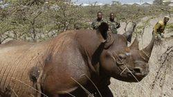 Κένυα: Οκτώ μαύροι ρινόκεροι πέθαναν κατά τη μεταφορά τους σε