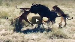 Πολύ σκληρός για να πεθάνει: 8 λιοντάρια εναντίον ενός