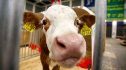 Un chercheur marocain a trouvé le moyen de réduire la pollution de l'air causée par les vaches