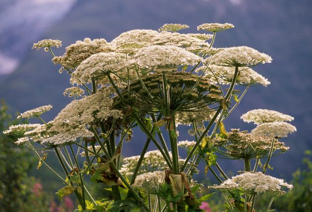 Giant hogweed in