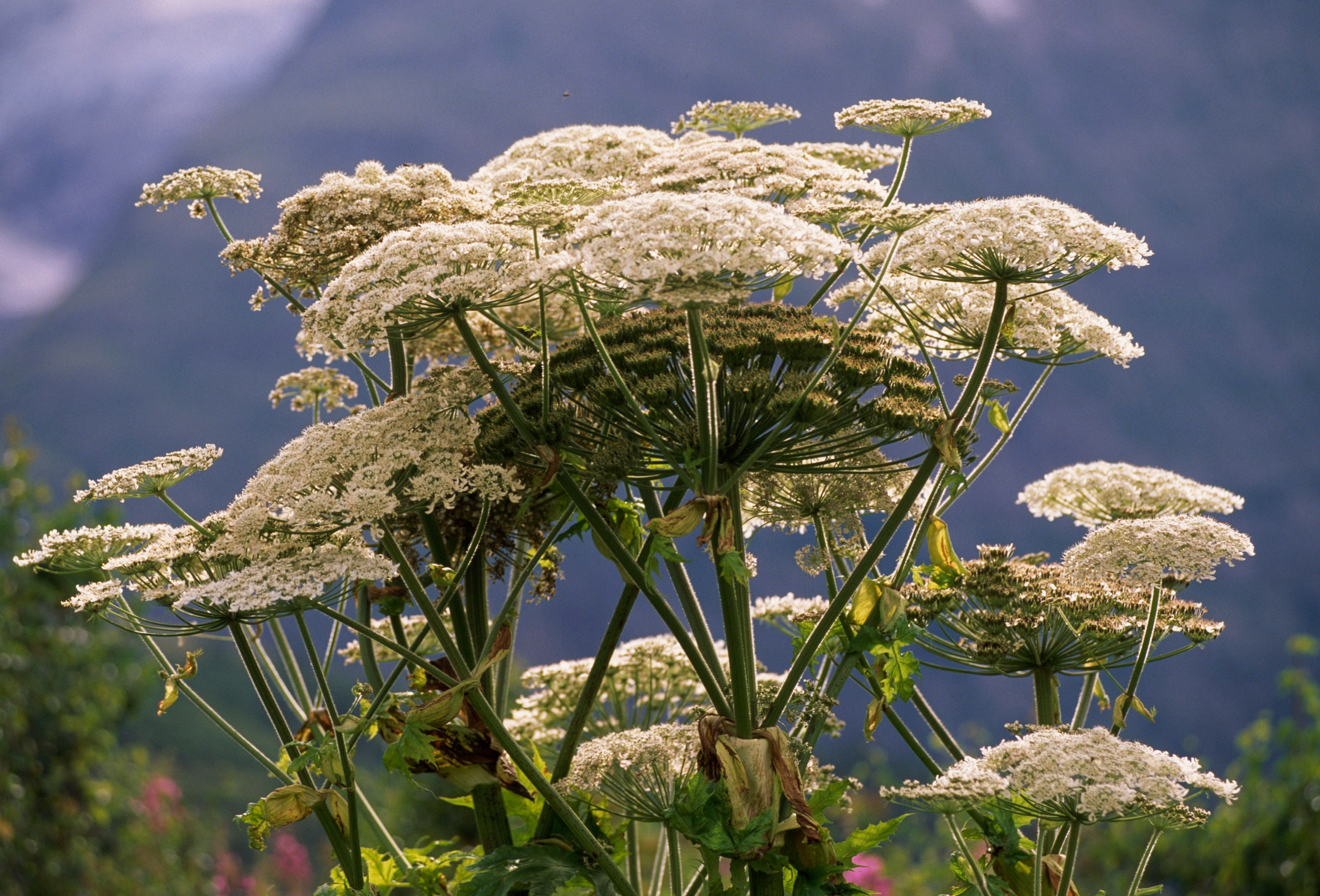 Giant hogweed in France.