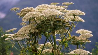 FRANCE - DECEMBER 05: Giant hogweed (Heracleum mantegazzianum), Ecrins National Park (Parc national des Ecrins), France. (Photo by DeAgostini/Getty Images)