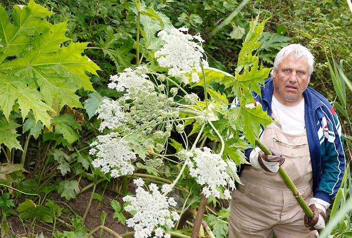 A man in Germany holds the stalk of a giant hogweed plant, which can grow very large.