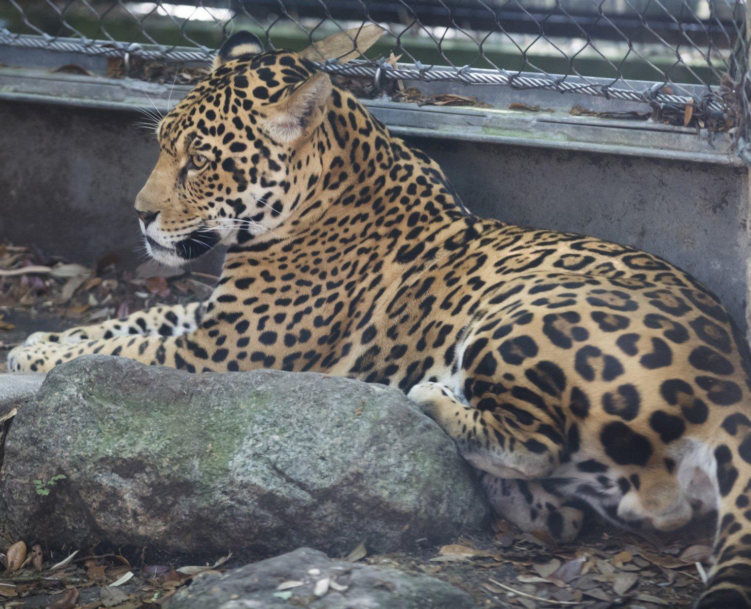 Escaped jaguar Valerio