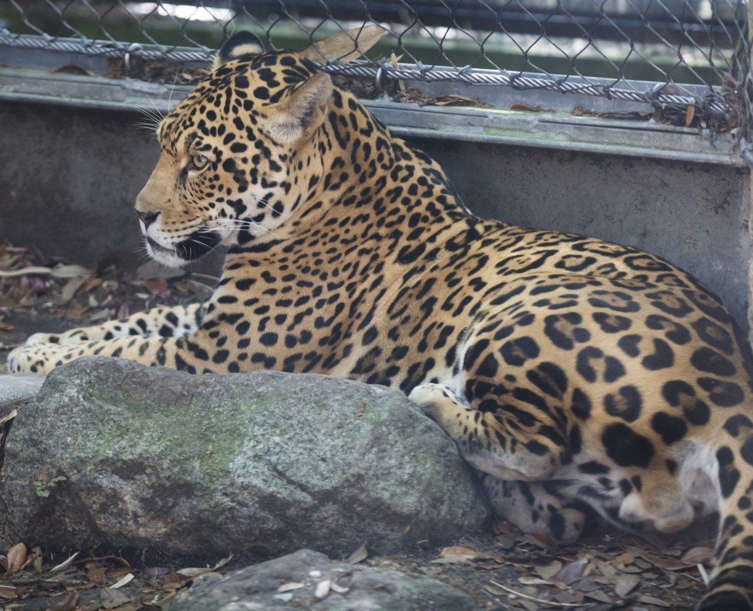 Escaped jaguar Valerio