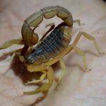 Piqûres de scorpions: entre 50 et 100 décès chaque année en