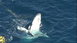 Gold Coast Shark Safety Nets Trap Humpback