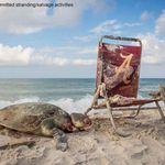 해변에 두고온 접이식 의자가 바다 거북을 죽일 수