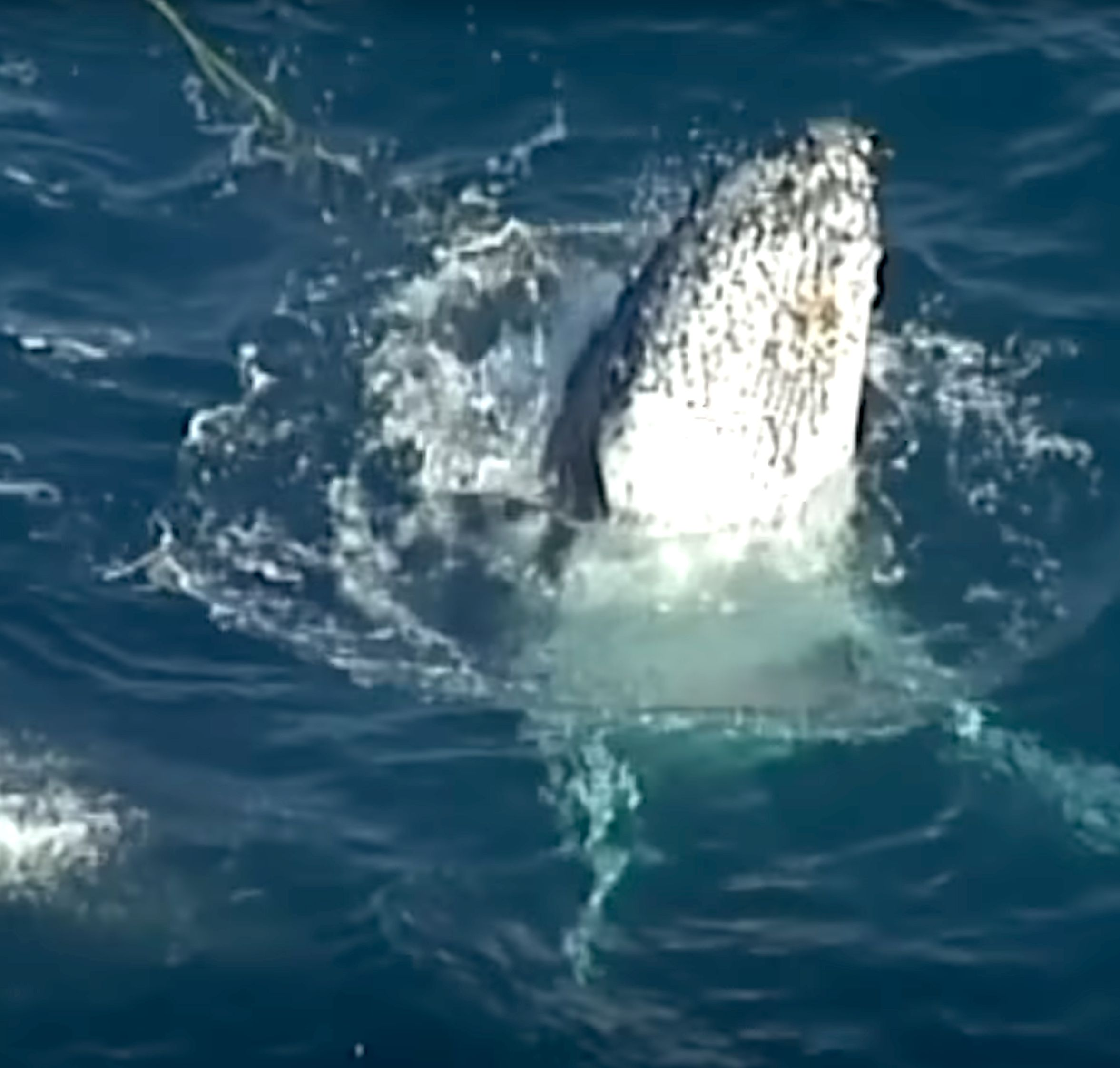 Humpback whale becomes ensnared in shark net off Australias Gold Coast