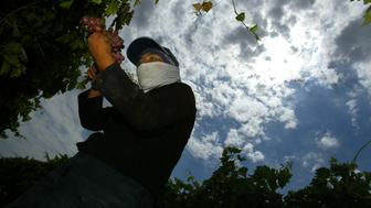 7/29/2003 – As the sun beats down through hazy clouds above her, a worker picks Flame table grapes on a vinyard in Madera, CA. Vineyards in the San Joaquin Valley, not to mention farm workers, are wilting beneath a near–record heat wave in July.  (Photo by George Wilhelm/Los Angeles Times via Getty Images)