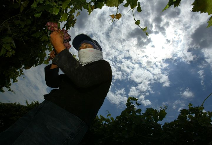 As the sun beats down through hazy clouds above her, a farmworker picks grapes in a vineyard in Madera, California.