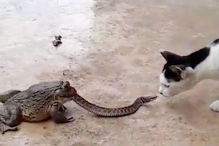 Eine Kröte will gerade eine Schlange verspeisen, dann kommt eine Katze hinzu