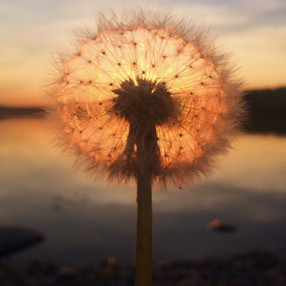 "First Place<br>""Dandelion sunset""<br>Jyv&auml;skyl&auml;, Finland <br>Shot on iPhone 5s"
