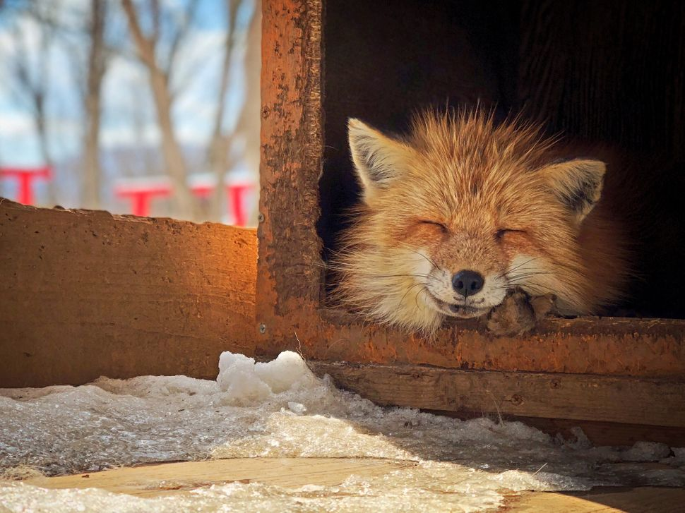 "Third Place<br>""Smiling Fox""<br>Miyagi Zao Fox Village, Japan<br>Shot on iPhone X"