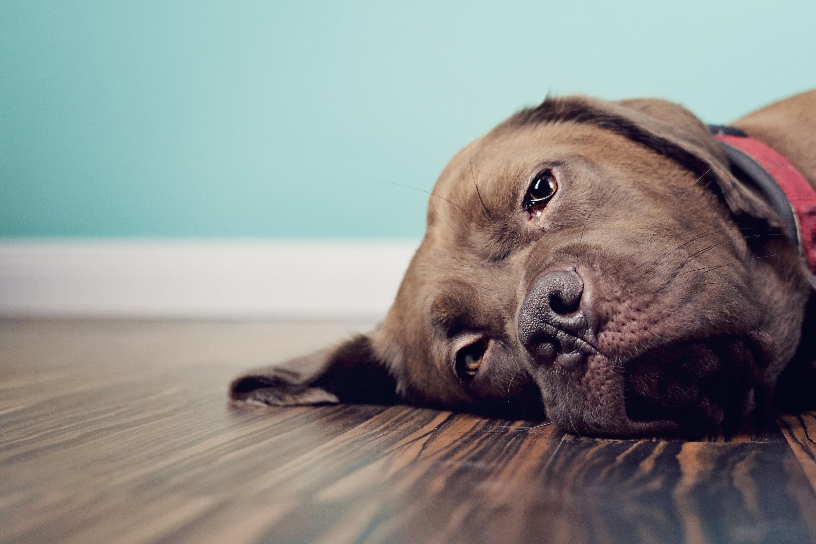 Pets também podem sentir luto. Entenda como isso