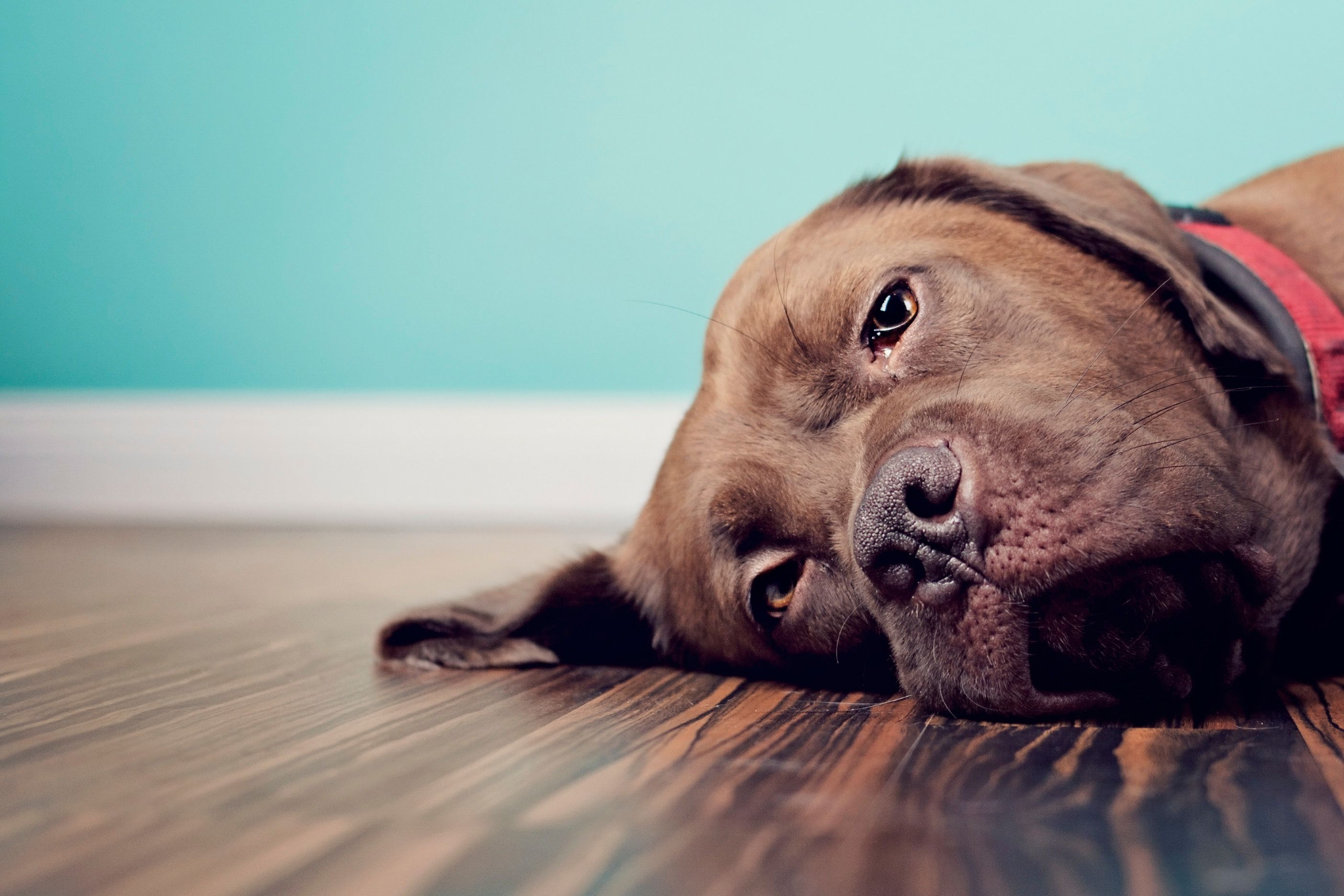 A brown Labrador cross breed French Mastiff Dogue de Bordeaux dog is lying on the floor. Dark wood floor, blue wall and red collar. Facing the camera.