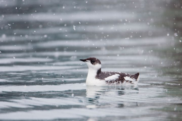 The marbled murrelet, seen here with winter plumage in Alaska, is listed as threatened under the Endangered Species Act.