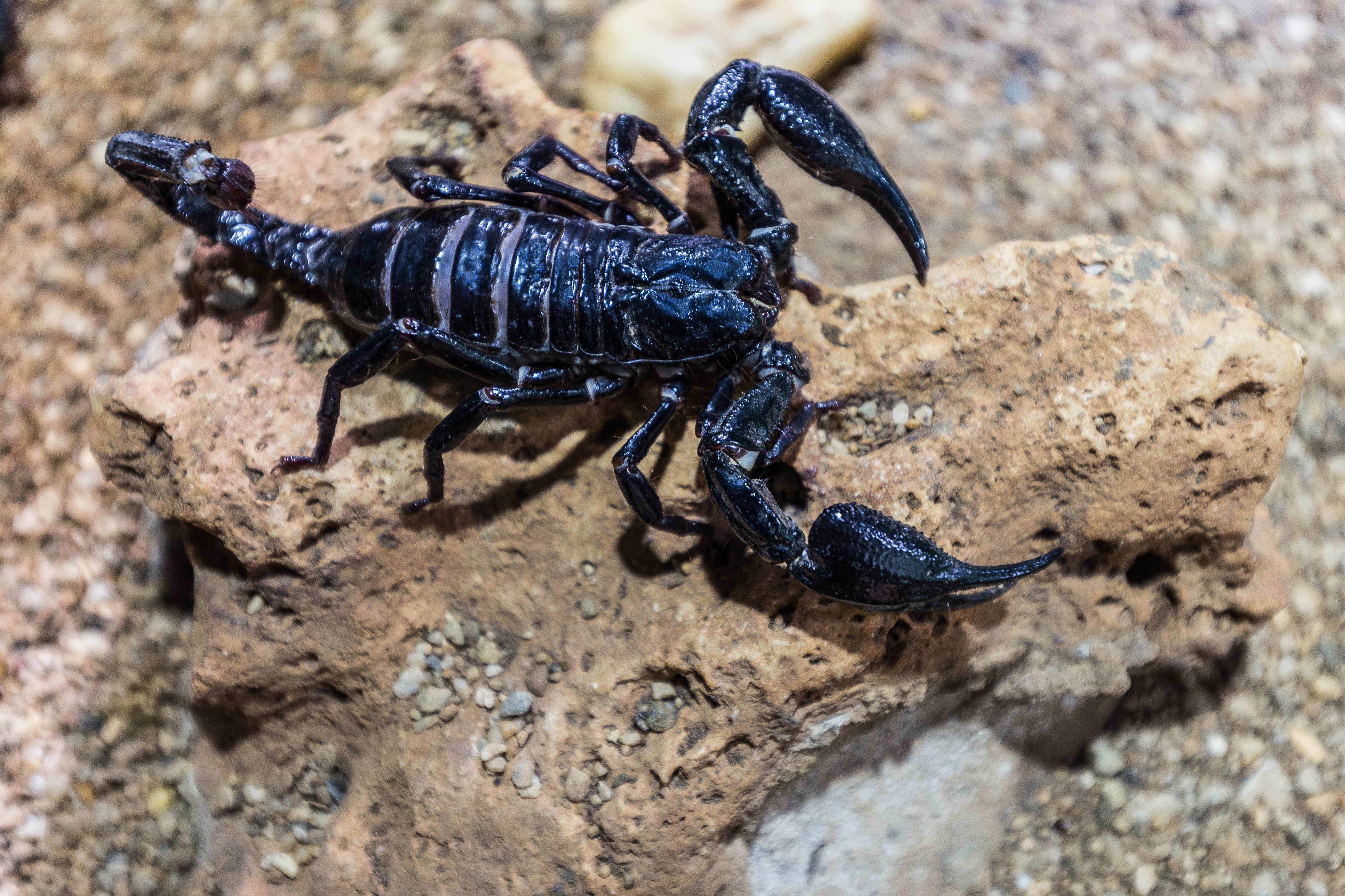 Morsures de serpents et piqûres de scorpions, le fléau estival