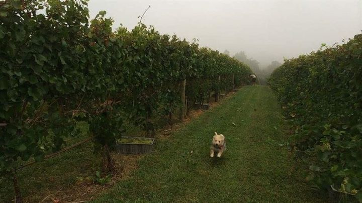 "Lula, a ""shelty corgi Yorkie poo,"" jets through the fields at Bluestone Vineyard. Owner Lee Hartman pushed to change the Virg"