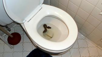 In this Thursday, July 19, 2018 photo, a snake peaks out in a toilet at James Hooper's home in Virginia Beach, Va.  Hooper of Virginia Beach says he thought it was a prank when he spotted the snake in the toilet Thursday, but then he saw the tongue moving. Hooper says his roommate, Kenny Spruill, used a fishing pole with a noose to pull the snake out.  The snake has been claimed by owners who say she went missing miles away. (James Hooper via AP)