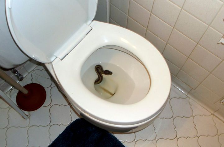 The snake sitting in James Hooper's toilet before James Hooper and roommate Kenny Spruill configured a fishing rod to pull he