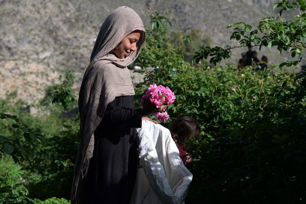 Une Afghane cueille des roses, le 24 avril 2018 près de