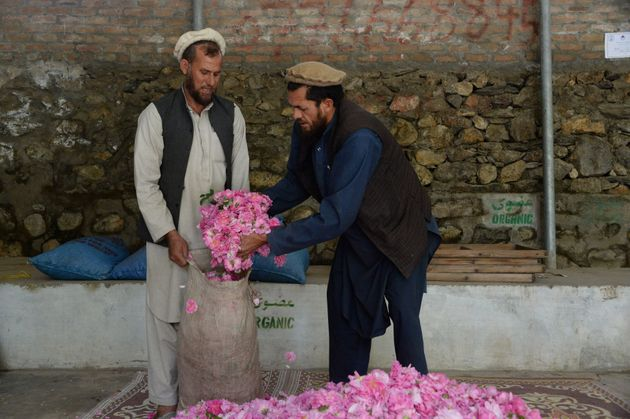 Des Afghans remplissent de pétale de roses un sac dans la province de Nangahar, le 24 avril