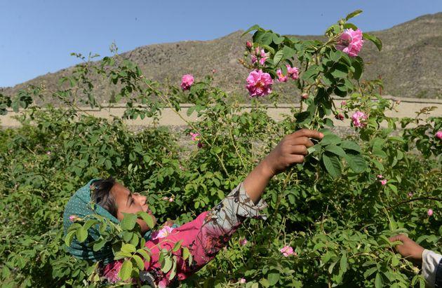 Cueillette de roses dans un jardin près de Jalalabad, le 24 avril 2018 en