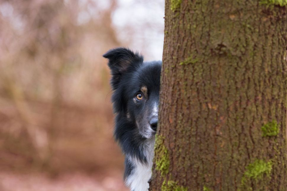 "<strong>Third Place</strong><br>""Hide and Seek""<br>Big City Borders Lad, border collie, Netherlands"