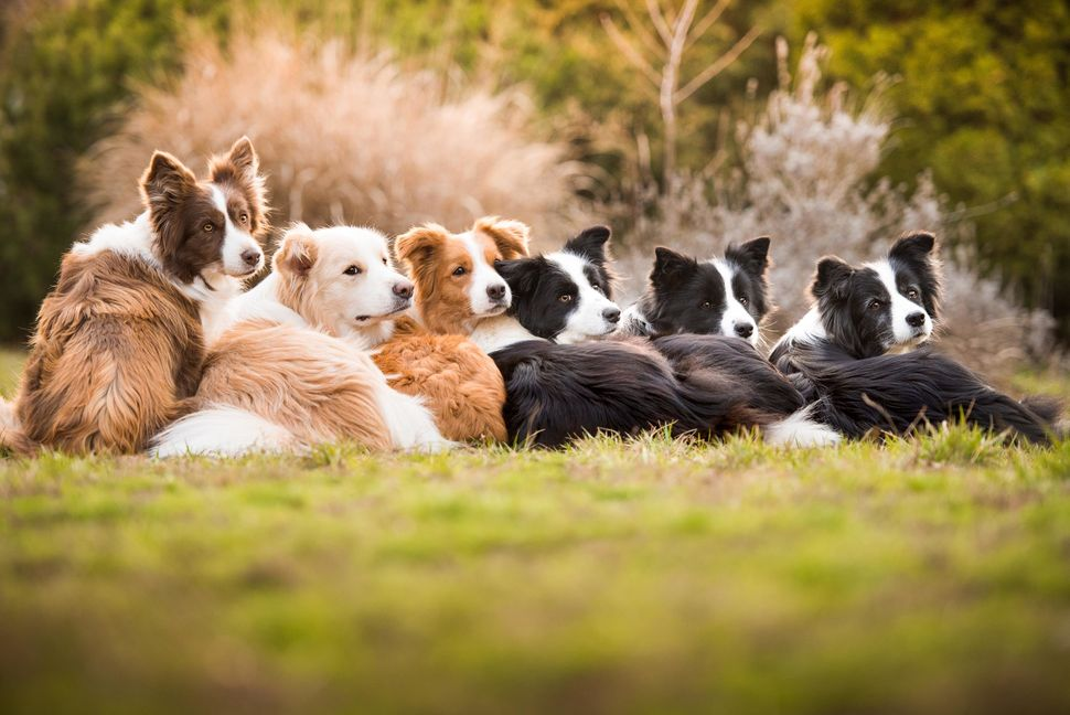 "<strong>First Place</strong><br>""One Heart, One Family""<br>Dash, Royal, Harley, Ženka, Ryan, Ready; border collies; Hungary"