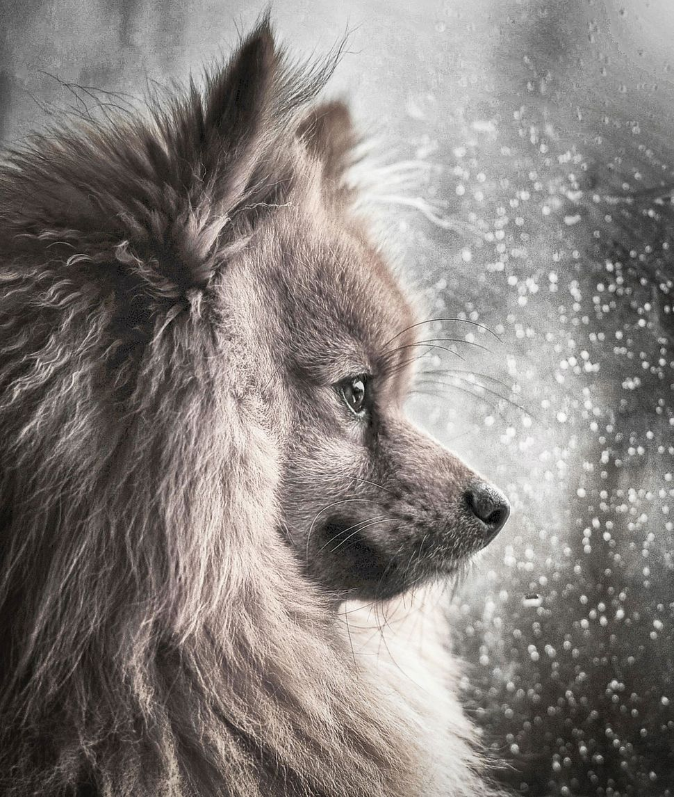 "<strong>Third Place</strong><br>""A Winter's Storm""<br>Hugo, Pomeranian, U.K."
