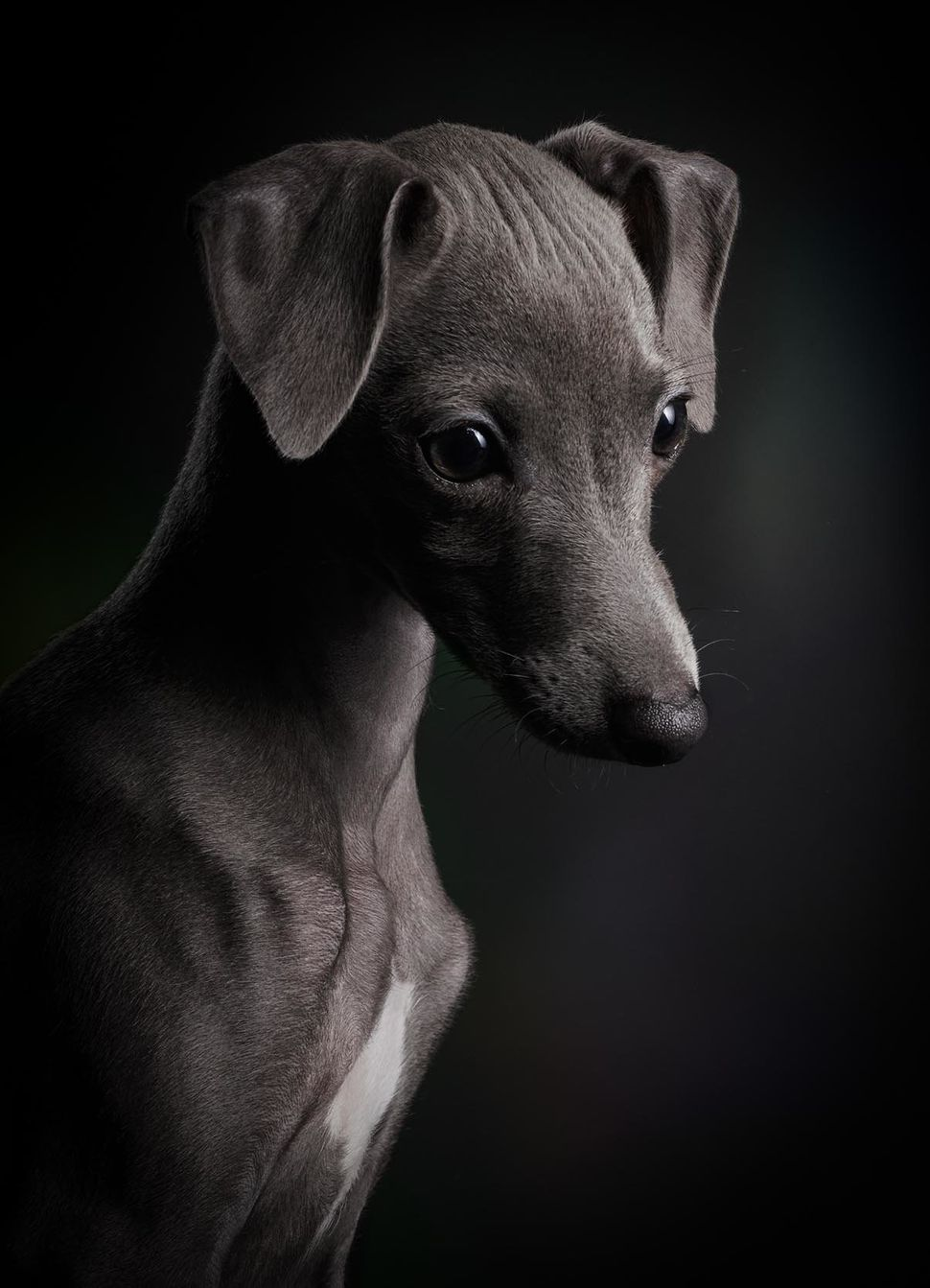 "<strong>First Place</strong><br>""Little Ceylin""<br>Ceylin, Italian greyhound, Germany"
