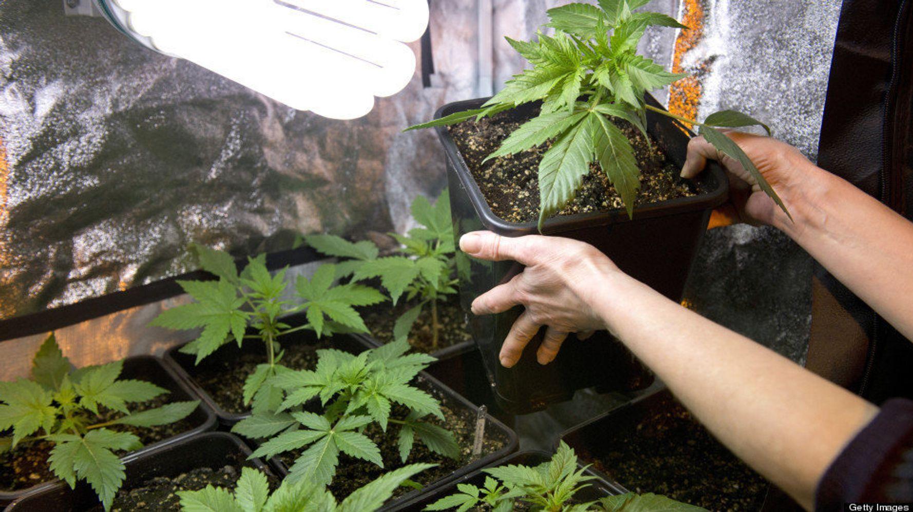 Конопля гиббереллин и давления повышение курение марихуаны
