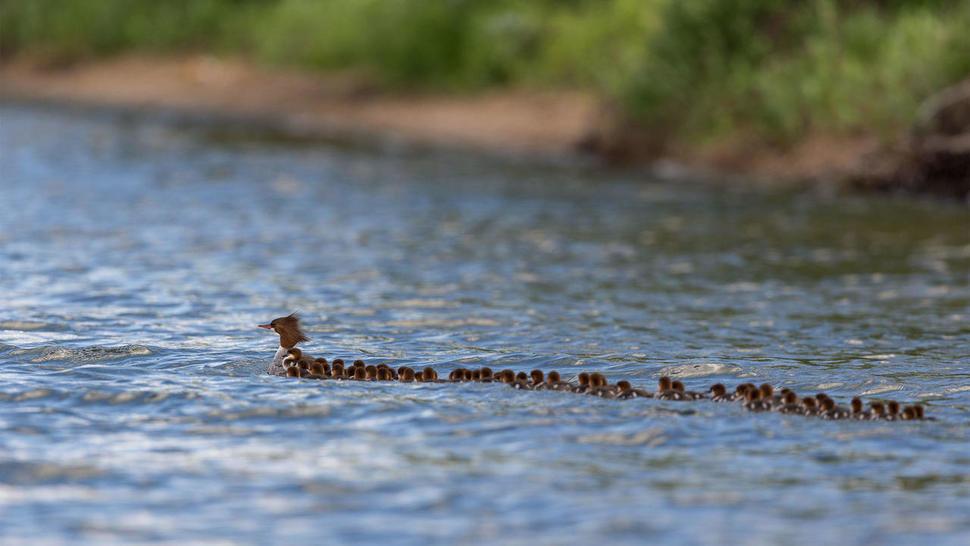 이 조류가 키우는 새끼의 숫자는 상상을 초월한다
