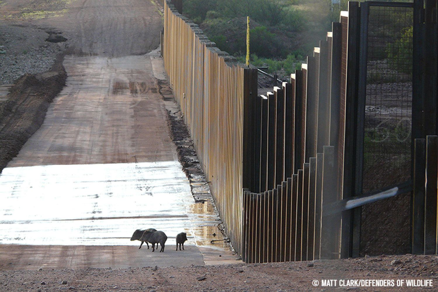 A family of javelinas, a type of wild hoofed animal similar to pigs, near a section ofwall on the U.S.-Mexico border ne