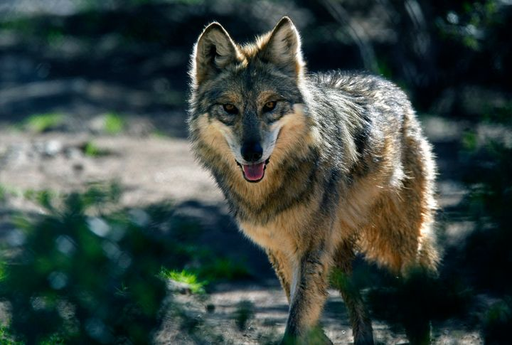 The endangered Mexican gray wolf is one animal scientists say would be harmed by the wall.