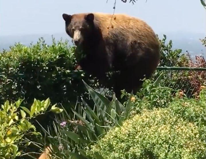 Bär will über Zaun in Garten einbrechen – dann kommen drei kleine