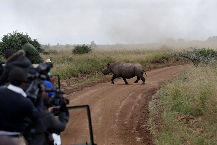 A female black rhino crosses a road during a translocation exercise in Nairobi National Park, Kenya. Some of the rhinos trans