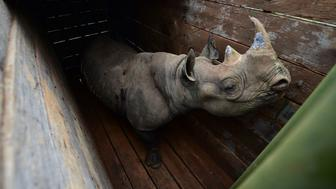 TOPSHOT - A female black rhinoceros one of three individuals about to the translocated, stands in a transport crate, in Nairobi National Park, on June 26, 2018. - Kenya Wildlife Services proceeded to relocate some rhinoceroses on June 26, 2018 from Nairobi National Park to Tsavo-East National Park in an effort to repopulate habitat around the country which rhinoceros population had been decimated by poaching and harsh climatic changes. (Photo by TONY KARUMBA / AFP)        (Photo credit should read TONY KARUMBA/AFP/Getty Images)