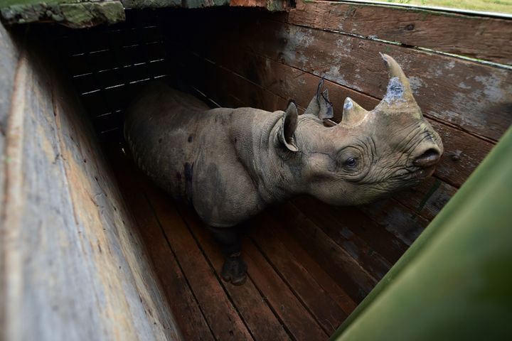 A female black rhinoceros in a transport crate bound for Tsavo East National Park.