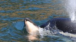 Grieving Orca Whale Releases Dead Calf After More Than Two