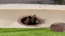 미국에서 배수구에 갇힌 곰이