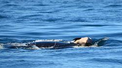 어미 범고래는 죽은 새끼를 계속 데리고