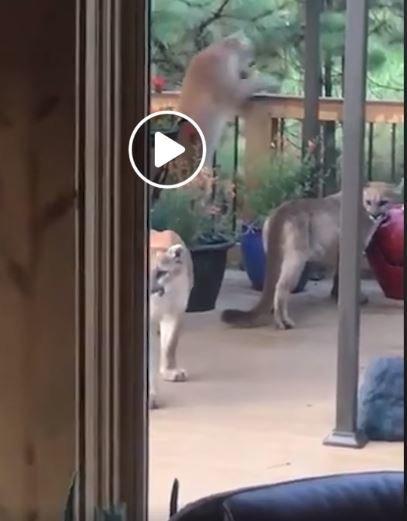Τέσσερα λιοντάρια κάνουν βόλτα στη βεράντα του. Κι εκείνος τα