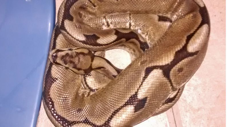 Snakes In A Bed – Woman Wakes Up Next To 3ft Python In West London Flat