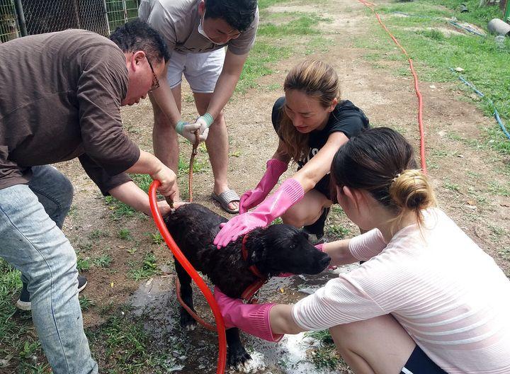 자원봉사자들이 28일 개농장에서 구조한 개를 목욕시키고 있다.