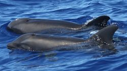 No, Researchers Didn't Discover A New Whale-Dolphin Hybrid